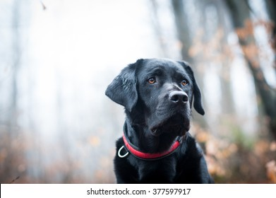 Black Labrador in the forest