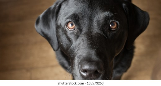 Black Labrador gazing at his owner
