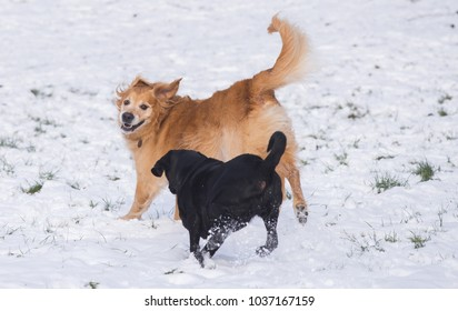 A black Labrador and a golden retriever playing in the snow
