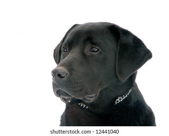 Black labrador isolated