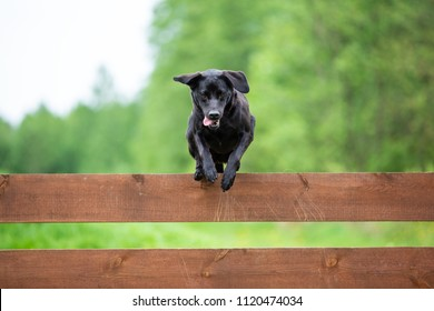 Black labrador jumping over the fence