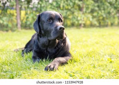 Black Labrador Lies Outdoors on Grass