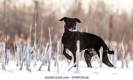 Black Labrador mix running in a field in winter