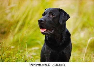 Black labrador on a background of yellow grass
