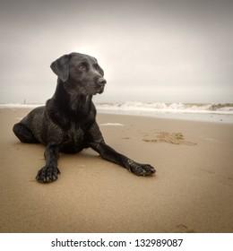 Black Labrador on Beach