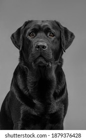 black labrador on gray background