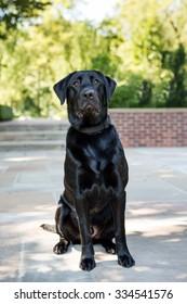 Black Labrador at the park