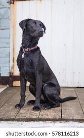 Black Labrador Pet Dog on the Beach