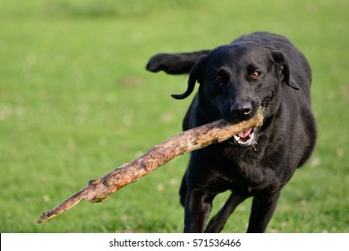 black labrador playing with a stick