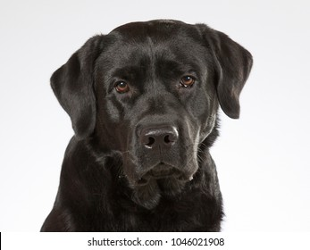 Black labrador portrait. Image taken in a studio.
