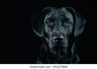Black Labrador Portrait on black background