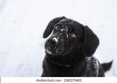 Black labrador puppy dog head close-up with snow on nose
