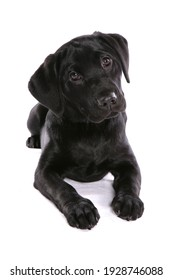 Black Labrador Puppy dog isolated on a white background