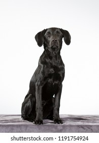 Black labrador puppy dog with a white background.