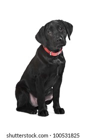 Black Labrador puppy in front of a white background