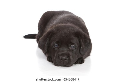 Black labrador puppy (isolated on white background)