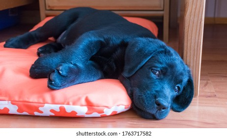 a black Labrador puppy is lying on the floor on an orange Mat