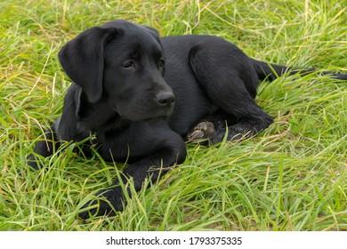black Labrador puppy lying on the green grass
