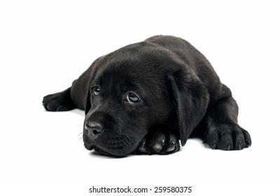 black labrador puppy on a white background