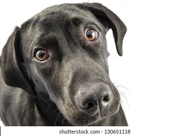 Black Labrador puppy over a white background