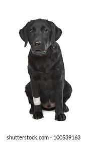 Black Labrador puppy with plaster