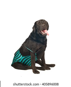 Black labrador retreiver portrait in swimsuit isolated on white