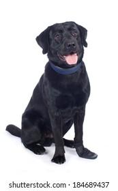 Black labrador retriever with booty