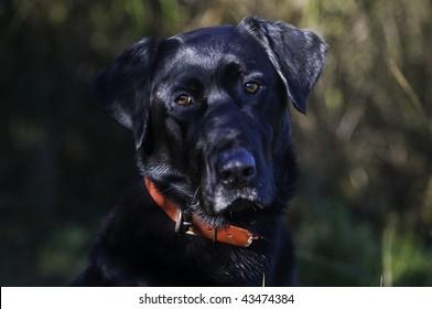 A black Labrador retriever cocks his ears during a morning duck hunt in Oregon.