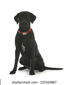 black labrador retriever cross sitting looking at viewer isolated on white background