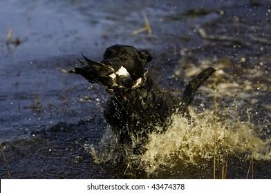 a black Labrador retriever dashes back to the hunter after retrieving a duck.