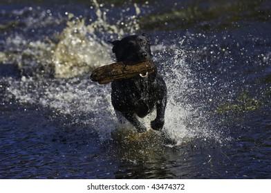 A black Labrador retriever dashes through a pond with a stick in his mouth.