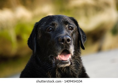 Black Labrador Retriever dog head shot outdoors