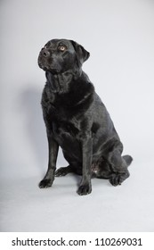 Black labrador retriever dog with light brown eyes isolated on grey background. Studio shot.