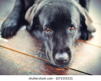 Black Labrador Retriever Dog Lying On A Wooden Floor