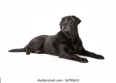 black labrador retriever dog lying on the floor, isolated on a white background