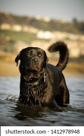 Black Labrador Retriever dog outdoor portrait standing in water