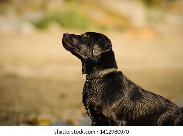 Black Labrador Retriever dog outdoor portrait