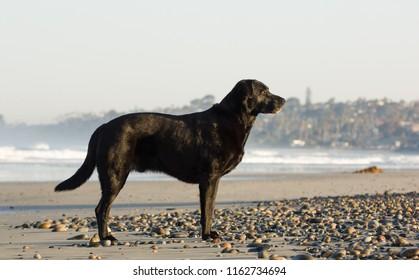 Black Labrador Retriever dog standing on ocean beach