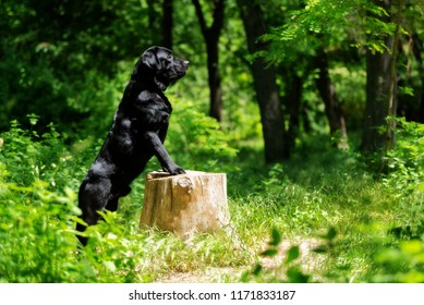 A black Labrador Retriever dog is standing on a tree stump in a forest. He looks in the right direction. The tree stump is small sized. There are a lot of trees and greenery in the background.