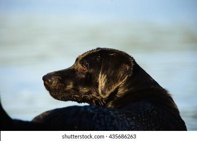 Black Labrador Retriever dog at water shore looking back