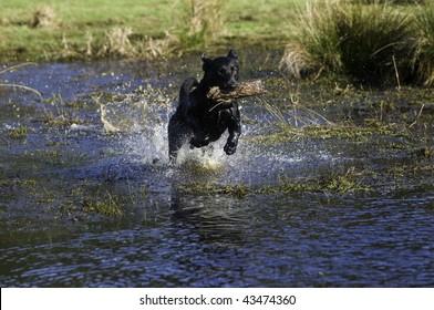A black Labrador retriever excitedly returns a stick to be thrown again.