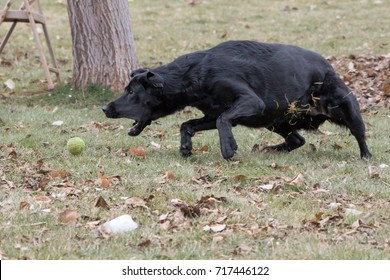 Black Labrador Retriever Fetching Ball