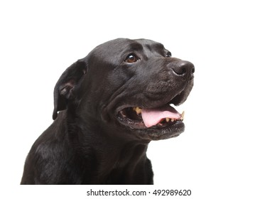 black labrador retriever in front of white background