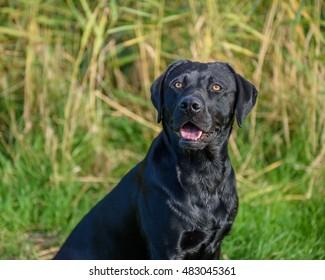 Black Labrador Retriever in grass.