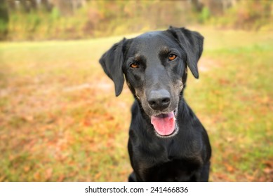 Black labrador retriever greyhound mix dog sitting outside looking curious watching waiting alert while happy panting and staring at camera