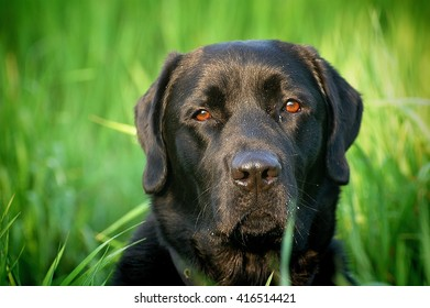 Black Labrador Retriever Head Shot.