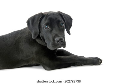 Black labrador retriever isolated on white.Studio shot