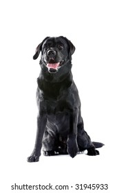 black labrador retriever isolated on a white background