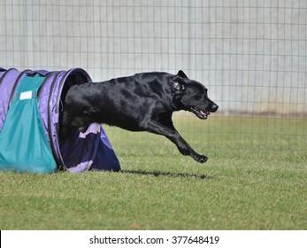 Black Labrador Retriever Leaving a Tunnel at a Dog Agility Trial
