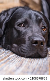 A black labrador retriever lies muzzle on the floor. Intelligent eyes, piercing eyes.